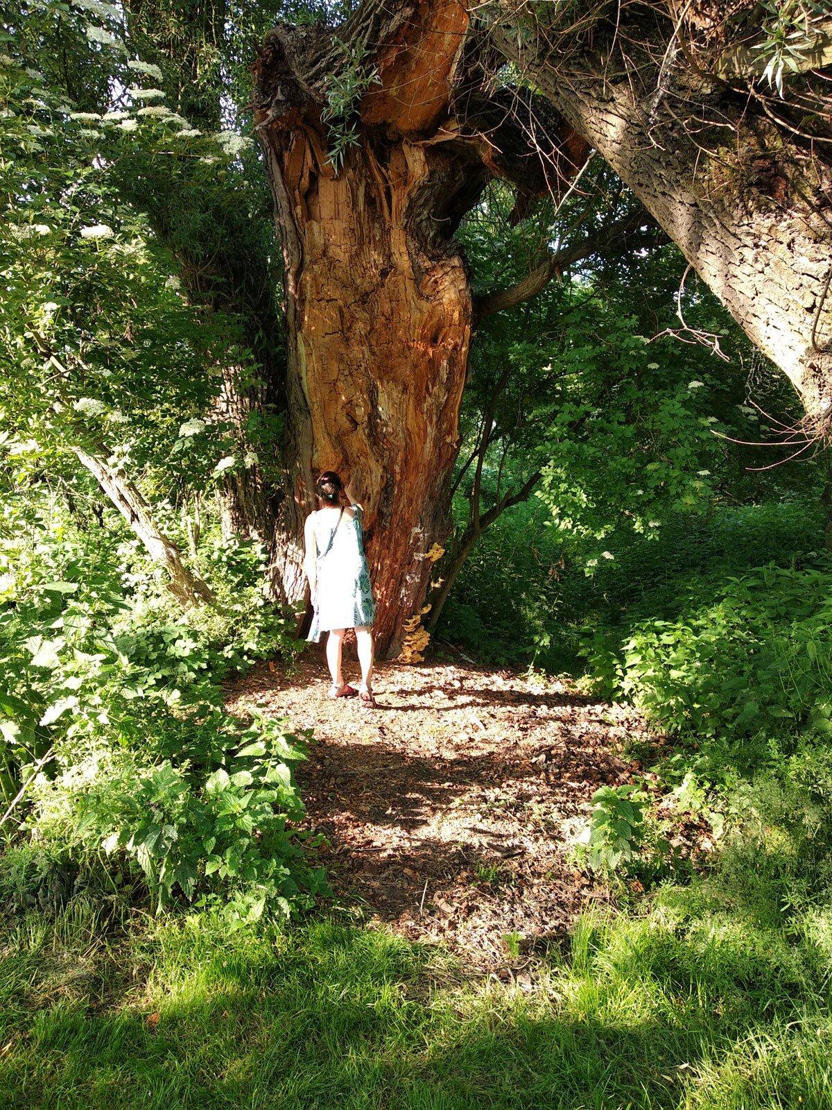 Stare drzewo w Dolinie Prądnika
